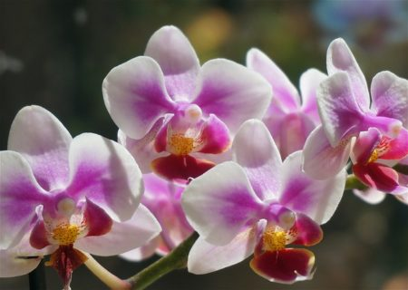 color of the orchid