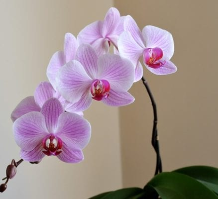 Orchid in the house: all pros and cons