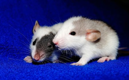What do rats teach us?